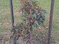 Corymbia ficifolia 'Calypso' Balmoral Road, Wodonga