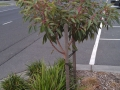 Corymbia ficifolia Baby Orange, Seaview Village, Bayside