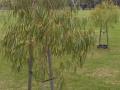 Corymbia citriodora Scentuous, Spring St Reserve Sandringham