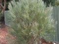 Hakea bucculenta, Ferntree Gully Oval Knox, Vic