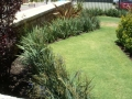 Ozbreed Dianella Cassa Blue in Landscape