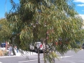 Corymbia citriodora Scentuous, Wantirna Mall (VIC)