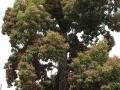 Brachychiton Jerilderie Red, Original Tree planted 1890's (Jerilderie, VIC)