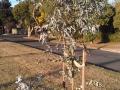 Eucalyptus cinerea Silver Shadow, Alfredton, Ballarat