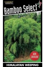 BAMBOO-HIMALAYAN-WEEPING