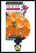 rsz_clivia_orange