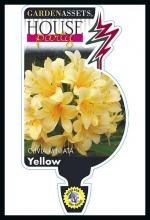 rsz_clivia_yellow
