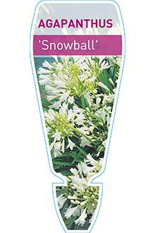 AGAPANTHUS-SNOWBALL