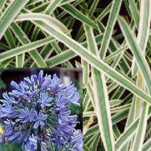 AGAPANTHUS-TINKERBELL