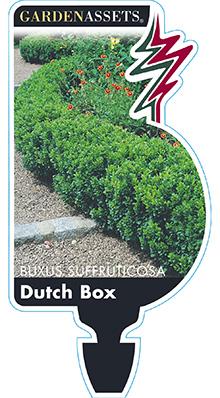 BUXUS-DUTCH-BOX