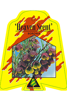 Boronia-Heaven-Sent