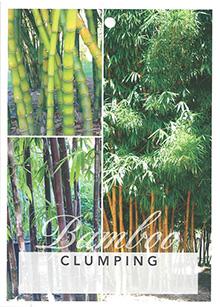 3-Bambusa-Green-Hedge